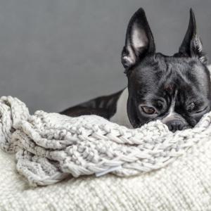 Fina - Boston Terrier