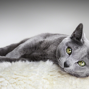 Sheba-cat